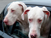 Two Great Danes — Stock Photo