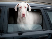 Great Dane in a car — Stock Photo