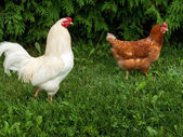 Roosters in grass — Stock Photo