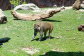 Affe im Wald — Stockfoto