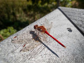 Red-veined darter — Stockfoto