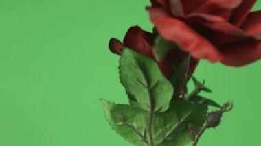 Czerwone róże — Wideo stockowe