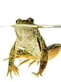 Green frog swimming in water — Stock Photo