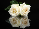 Two white roses with mirror image — Stock Photo