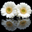 Two white gerberas with mirror image — Stock Photo