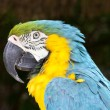Close up of blue-and-yellow macaw — Stock Photo