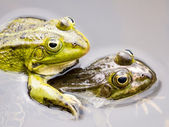 Close up of two mating green frogs — Stock Photo