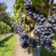 Bunches of blue grapes with path — Stock Photo