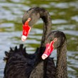 Couple black swans — Stock Photo #36734587