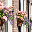 Pink geraniums hanging at facade — Stock Photo