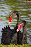Couple black swans — Stock Photo