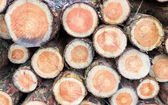 Cross sections of pine tree trunks — Stock Photo