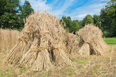 Sheaves of rye standing at cornfield — Stock Photo