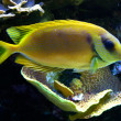 Yellow tropical fish living among corals in Monaco Maritime Museum and Aquarium. — Stock Photo