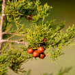 Постер, плакат: Wild cone less pine nuts under a small twig on soft green or khaki background The plant is typical to Mediterranean climate and common in Greece Croatia Italy and Spain