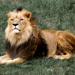 Stock Photo: Proud lion lying on grass