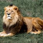 Proud lion lying on grass — Stock Photo