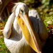 Pelican gaze on blurred green background — Stock Photo