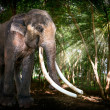 Bull Asia Elephant in Forest — Stock Photo