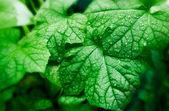 Green Gourd Leaf With Drop — 图库照片