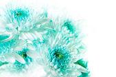Vibrant Aqua Dahlia Flowers — Stock Photo