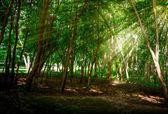 Sun Beam Pass Through Green Leaf — Stock Photo