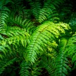 Green Fern in Forest — Stock Photo #35177975