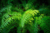 Green Fern in Forest — Stock Photo