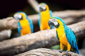Group of macaw — Stock Photo