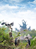 Family of marabou stork — Stock Photo