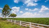Cassava field — Stock Photo