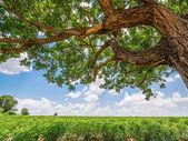 Tree in cassava field — Stock Photo