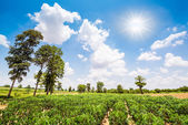 Cassava field — Stock Photo