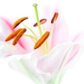 Pink lily flower — Stock Photo
