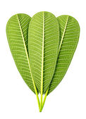 Green leaf isolated — Stock Photo