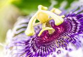 Passiflora flower — Stock Photo