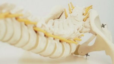 Spinal Cord Model — Stock Video