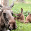 Relaxed Chewing Moose is Suddenly Surprised — Stock Video