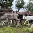 Herd of Caribou Reindeer on the Move — Stock Video