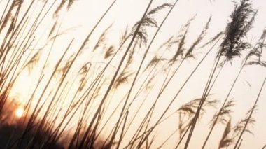 Sun Sets behind Plume Reeds — Stock Video