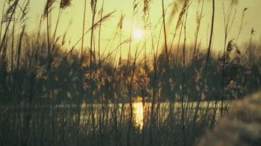 Warm Sunset Pond With Plume Reeds — Stock Video