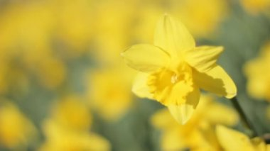 Daffodil Narcissus Trembling in the Sun and Wind — Stock Video