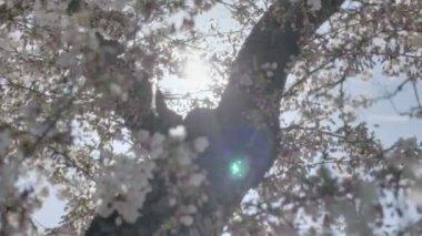 Spring Blossom Tree Sunshine Natural Lens Flare — Stock Video