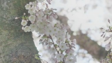 Spring Blossom Tree Flowers Sunlight Close Up — Stock Video