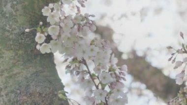 Spring Blossom Tree Flowers Sunlight Close Up — Stock Video