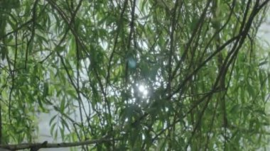 Shimmering Sun Light through Willow Tree Branches — Stock Video