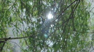Sol se refleja en el agua a través de las ramas de árbol de sauce — Vídeo de Stock