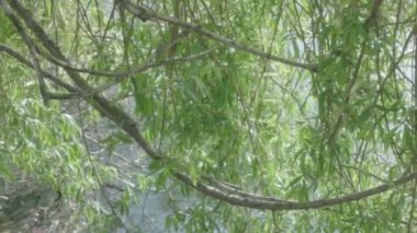 Shimmering Willow Tree Leaves — Vídeo Stock