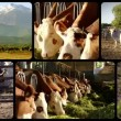 Cows, collage — Stock Video #35995399