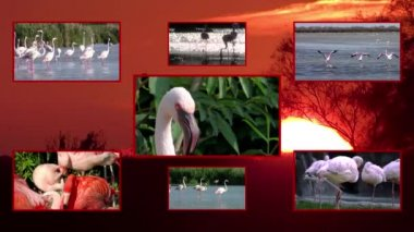 Flamingos collage — Stock Video